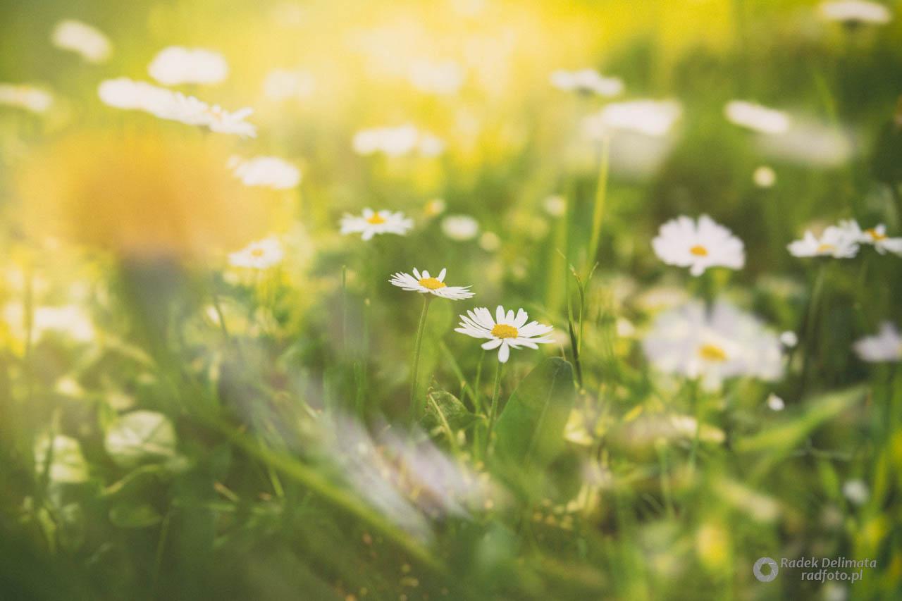 łąka, kwiatki